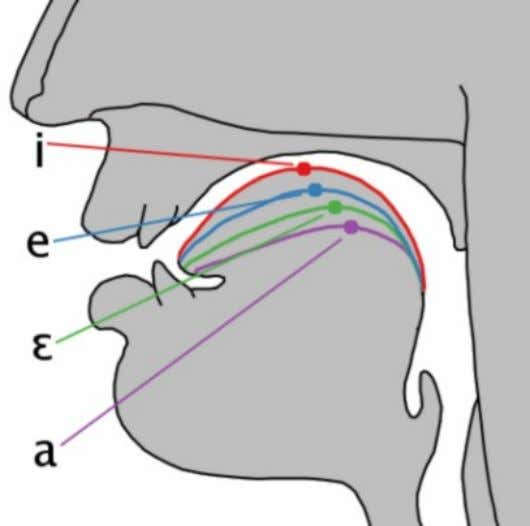 and the shape of the lips during articulation (roundedness). The above graphic should give you a
