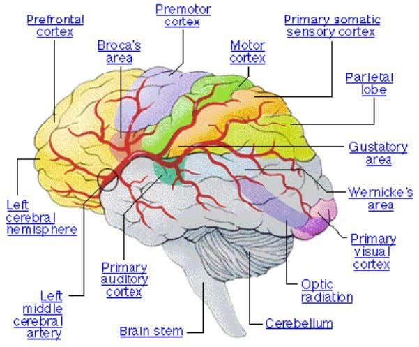 Session 2: What is language? Studies have shown that when these areas of the brain are
