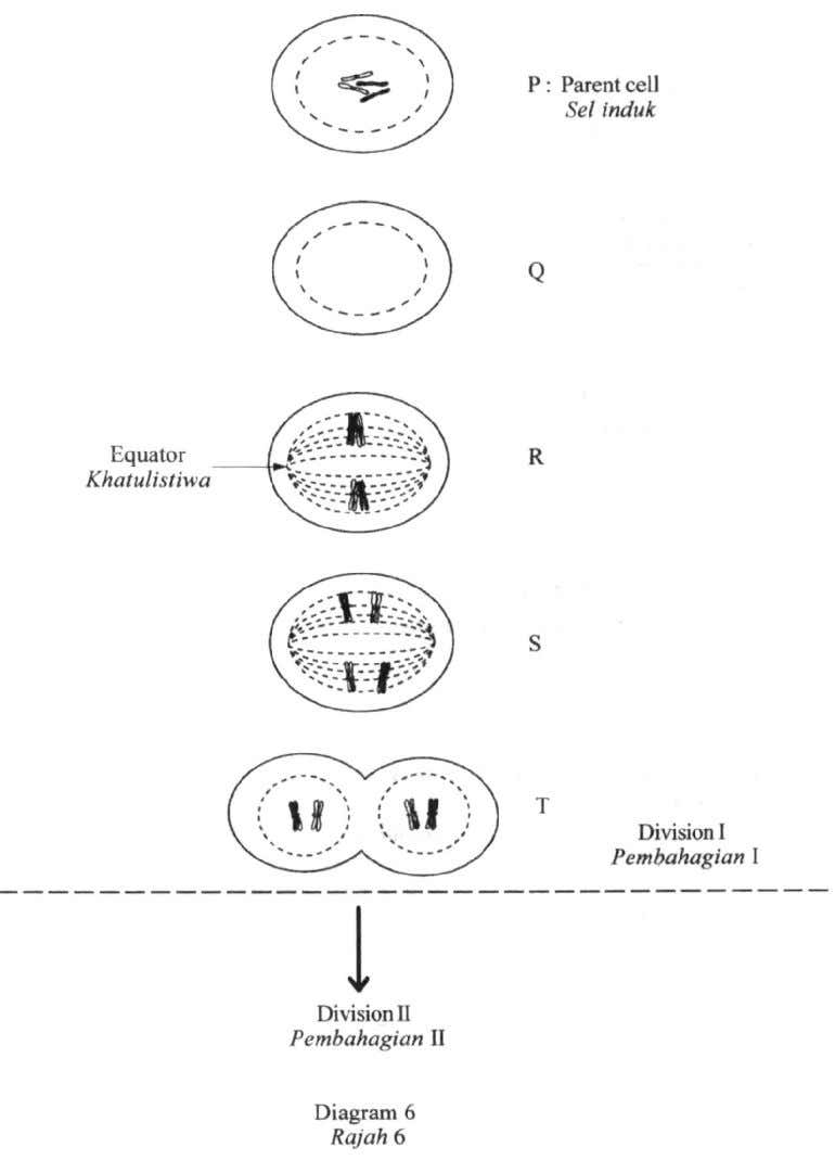 6 Diagram 6 shows a process of cell division. Chromosomes at stage Q are not shown.