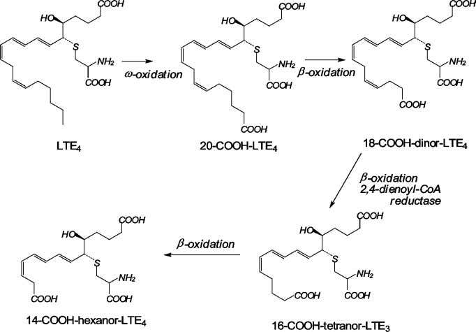 Leukotriene synthesis and metabolism 389 Figure 9 Pathway of the ω - and subsequent β -oxidation
