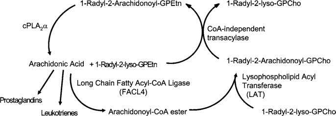 Leukotriene synthesis and metabolism 381 Figure 2 Remodelling of arachidonic acid (Lands cycle) is initiated by