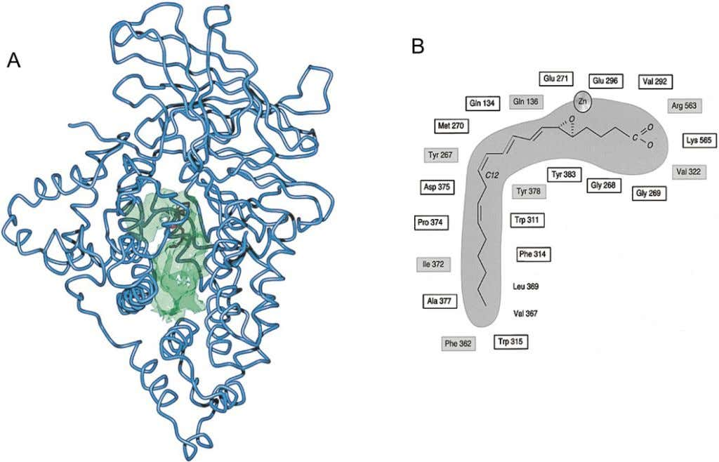 386 R. C. Murphy and M. A. Gij on ´ Figure 6 Structure and active site