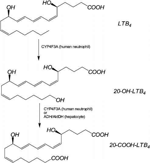 'activation' of the metabolic pathway for LTB 4 . Figure 7 Pathway of metabolism of LTB
