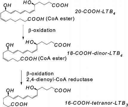 The Authors Journal compilation c 2007 Biochemical Society Figure 8 β -Oxidation of 20-COOH-LTB 4 as