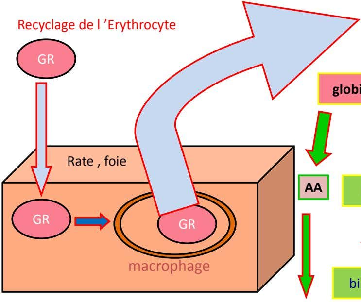 Recyclage de l 'Erythrocyte GR Rate , foie AA GR GR macrophage