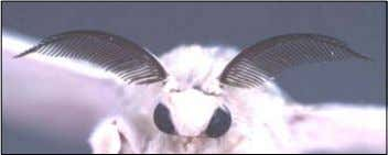 and specific binding proteins (Ananthakrishnan, 2003). Fig.7 A pair of pectinated antennae on the head of