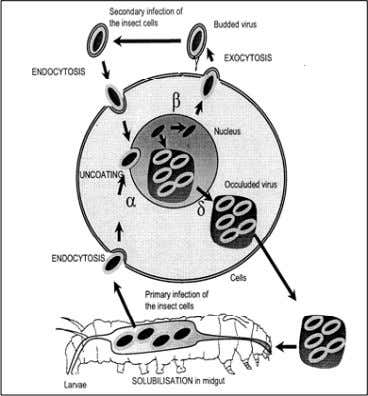 to vertebrates or vertebrate cell culture. There is also a great Fig.8. Life cycle of NPV