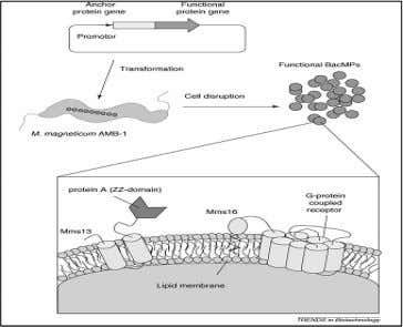 also been shown that membrane proteins produced in infected Fig.9. Schematic diagram for the preparation of