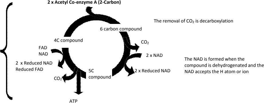 2 x Acetyl Co-enzyme A (2-Carbon) The removal of CO 2 is decarboxylation 6 carbon