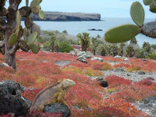 much like the marine iguana. Changes in rainfall could reduce nesting success. Galapagos Land Iguana ©
