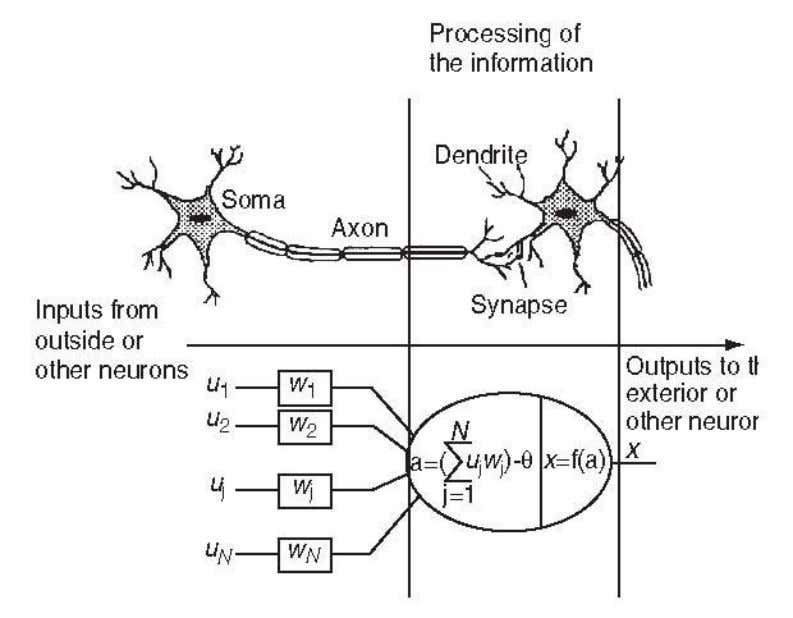 Figure 3. Comparison of a biological and artificial neuron.