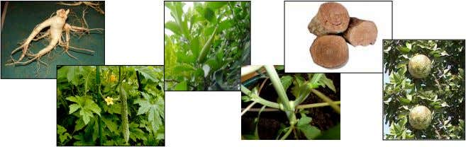 and availability  Plant part – root, flower, leaves, stem, bark, fruit Science, Technology and Society