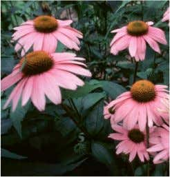 Herbal Remedies for Pain http://www.herbalremediesinfo.com • Echinacea ( angustifolia/purpurea ) • Caffeic acid