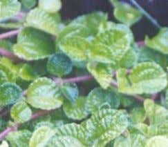 Herbal Remedies for Pain • Yerba buena leaves (Mentha cordifolia) • Used for headache, tootache and
