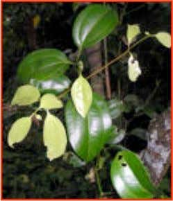 Herbal Remedies for Diarrhea http://www.rimbundahan.org • Cinnamomum verum ( cinnamon ) • Roots treat rheumatism and
