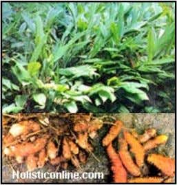 Herbal Remedies for Diarrhea http://www.rimbundahan.org • C urcuma longa ( Turmeric ) • One of the