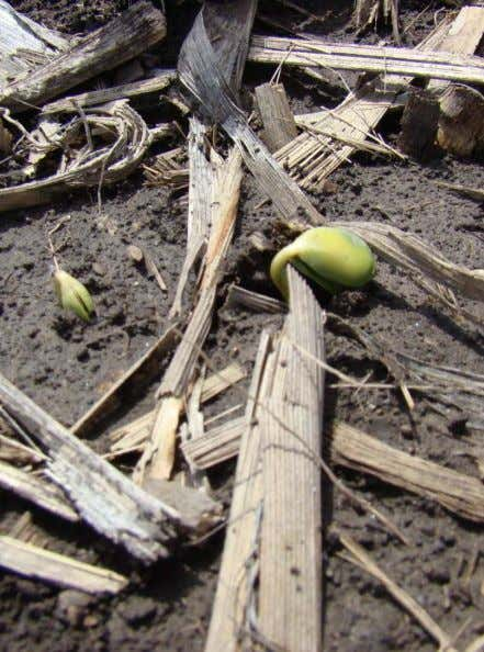 Hypocotyl Pulls the Cotyledons (Seed Leaves) Out of the Soil Soybean Station Delivering First Class Information