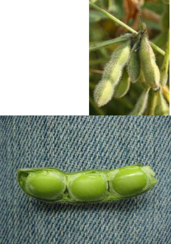 R6: Full Seed A pod containing a green seed that fills the pod capacity is
