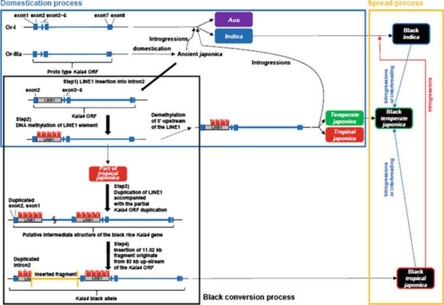 28 2 Black Rice Fig. 2.2 Schematic diagram of a model showing the processes in the