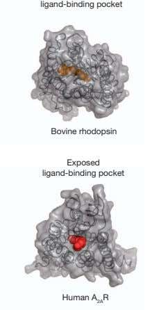 ligand-binding pocket Bovine rhodopsin Exposed ligand-binding pocket Human A 2A R
