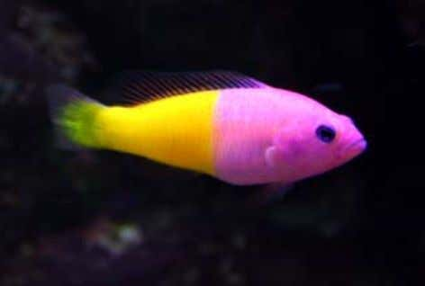 QUICK FACT SHEET The Royal Gramma is a stunningly vibrant marine fish and a favourite amongst