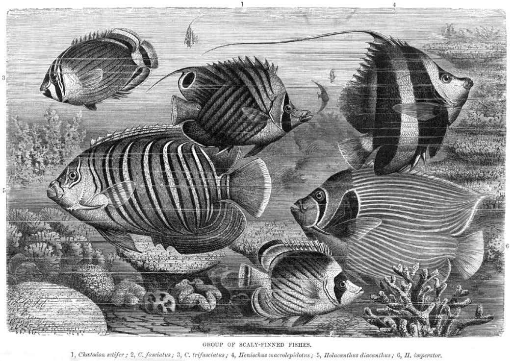 Prior to 1974, angelfishes and butterflyfishes were sub- families (Pomacanthinae and Chaetodontinae, respec- tively) of the