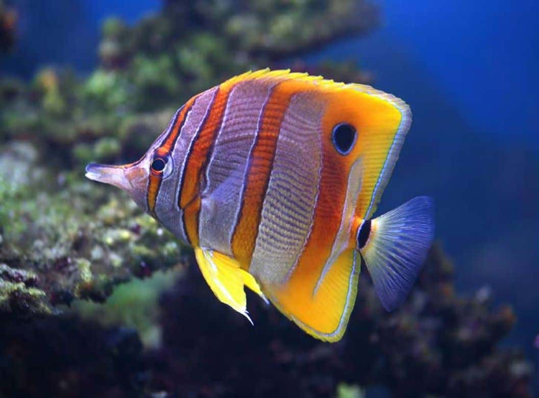 corallivores belong to the genus Chaetodon and include the Ornate Butterflyfish ( Chaetodon or- natissimus ),