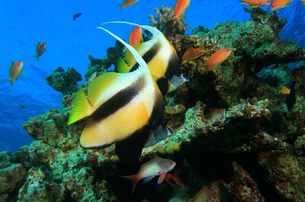 Red Sea Bannerfish ( Heniochus intermedius ) moderately experienced aquarists. Heniochus Unlike other members of the
