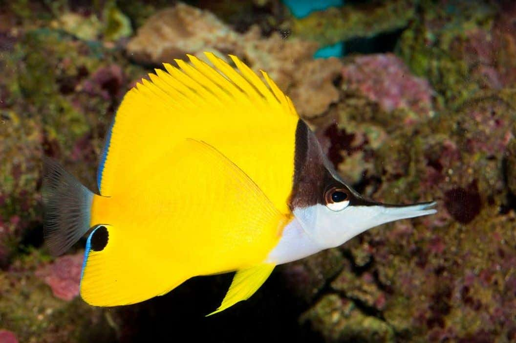 ant of changes in water quality than most other butterflyfishes. Although they require larger aquariums than