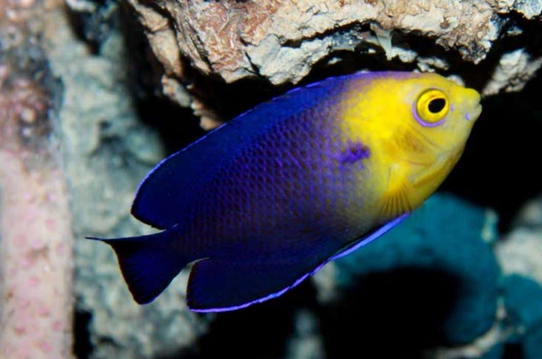 a Cherub Angelfish (Centropyge argi). Photo by Brian Gratwicke. functions like a pair of forceps. Pomacanthidae