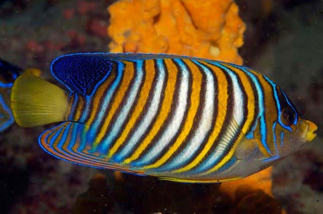 the Regal Angelfish ( Pygoplites diacanthus ) should probably be left to experts. Photo by National