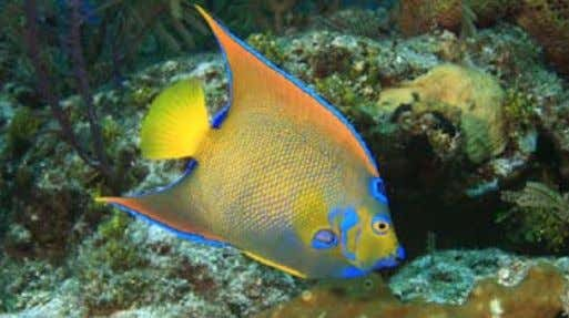 the King Angelfish ( Holacanthus passer ) is a truly magnificient animal. Photo by Laszlo Ilyes.