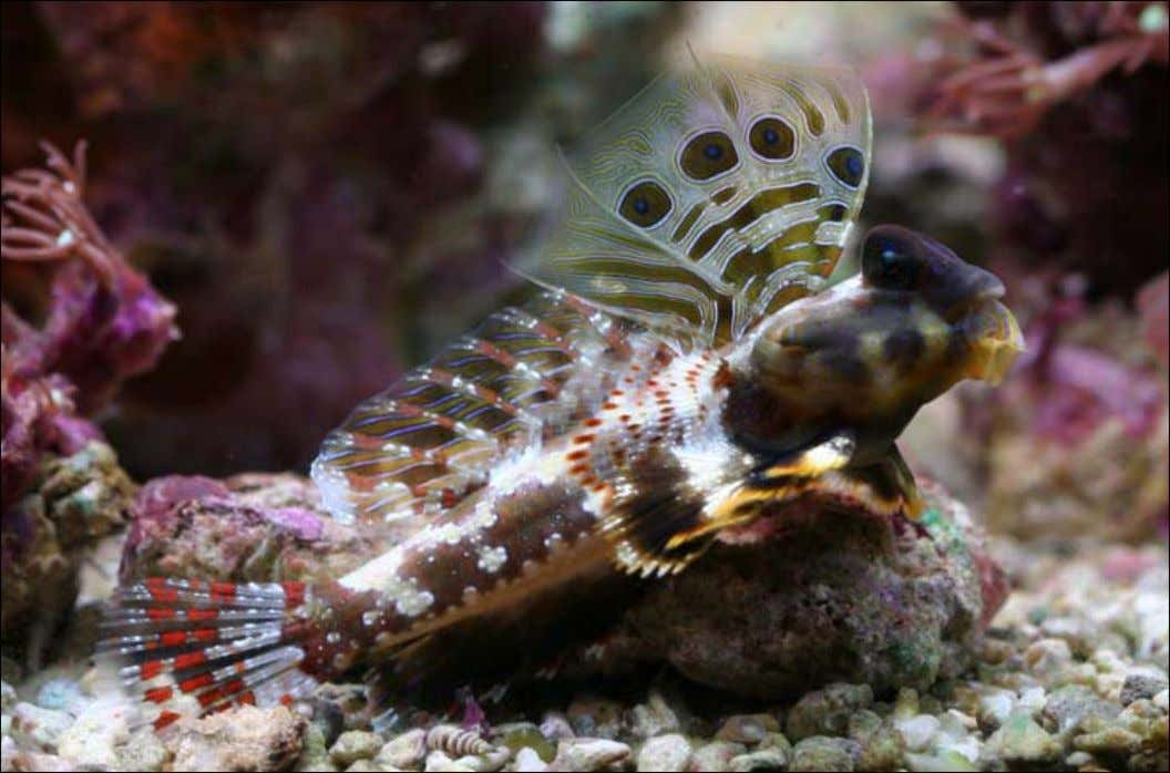 The Scooter Blenny ( Synchiropus ocellatus ) is probably the most likely of the three dragonets