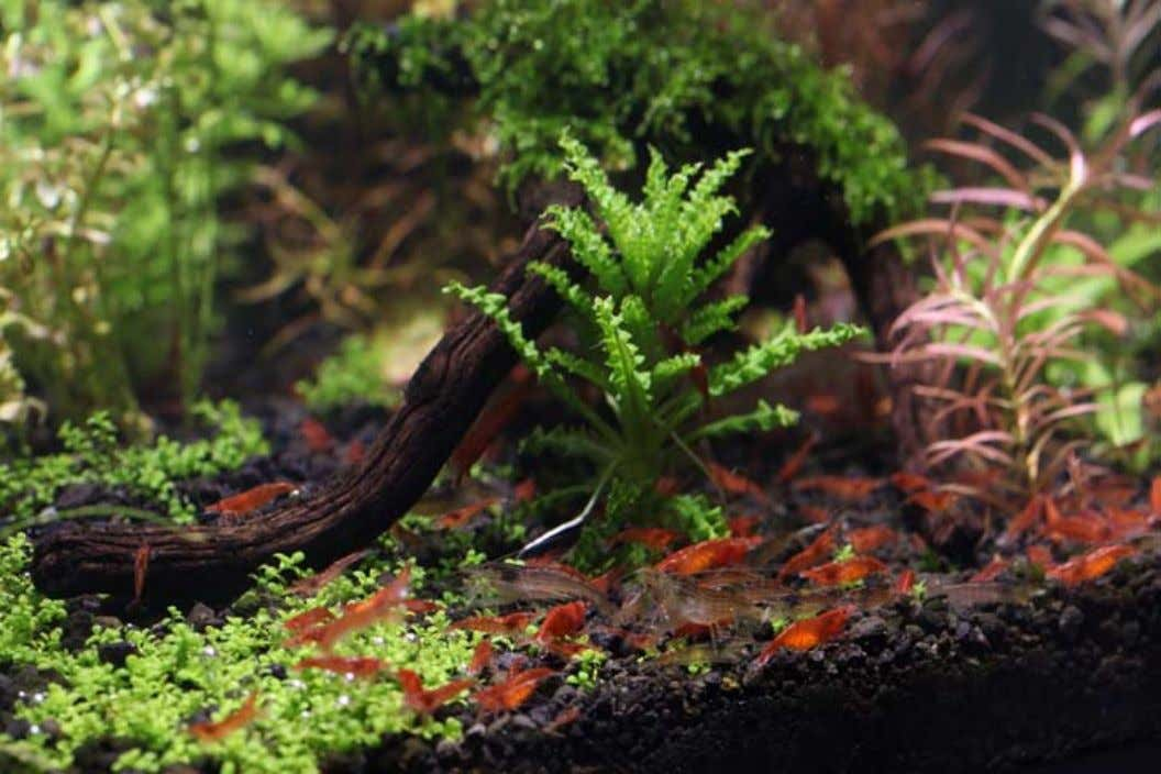 While fish will most likely maintain their place as the prime attraction in freshwater aquariums, hobbyists