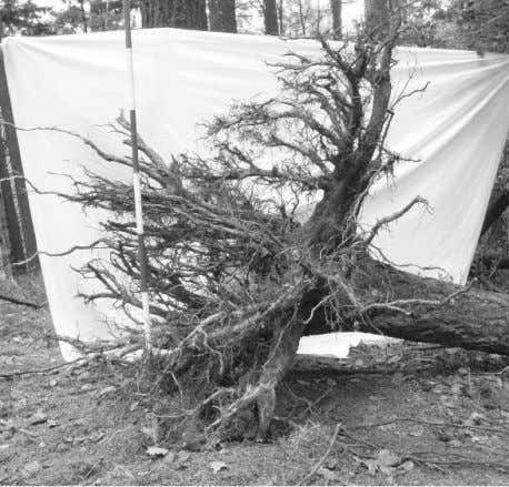 Fig. 1. Root system of Douglas fir at the age of 30 years Fig. 2. Root