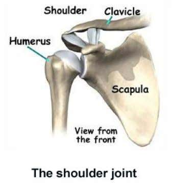 You can see the bones of the shoulder in the picture here: The shoulder joint is