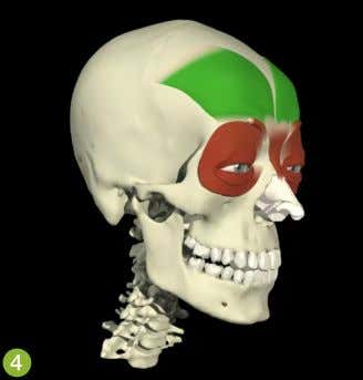 freedom will be affected by cranial fascia restrictions. The frontalis muscles (in green). Image courtesy of