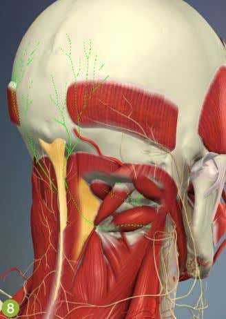 liNk is available at massageaNdbodY work.com aNd abmp.com. The central nuchal ligament (orange) and the suboccipital
