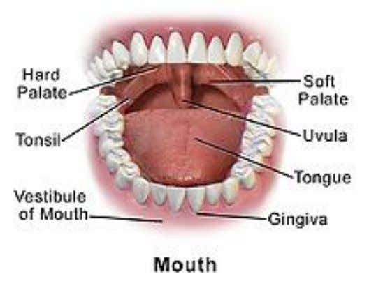 down starch). • Incisors & canines – used to bite and tear down food. • Molars