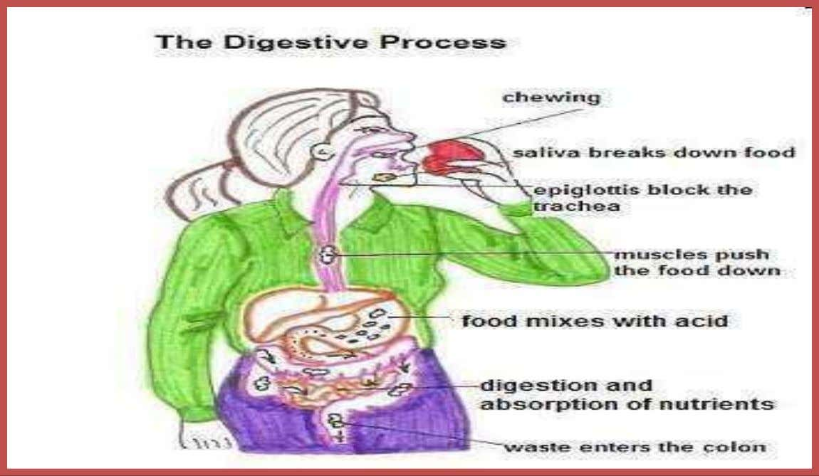 • Digestion: The process of breaking down food into nutrients. Copyright © 2010 Ryan P. Murphy