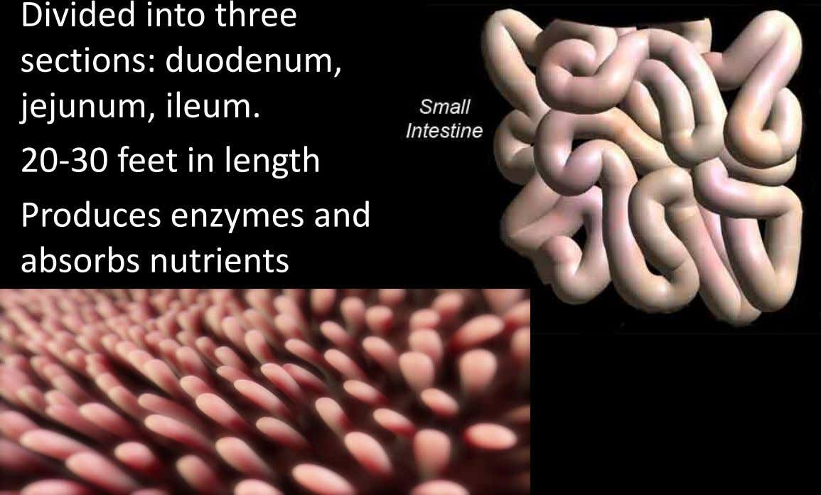 Divided into three sections: duodenum, jejunum, ileum. 20-30 feet in length Produces enzymes and absorbs