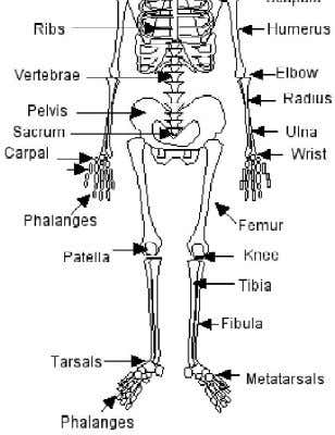 Skeleton . skeletal muscles. It maintains body equilibrium. of human is made of two parts: Axial