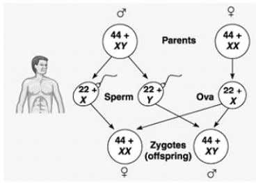 pairs + XX Males = 22 pairs + XY Sex determination in humans (girl) (boy) Important