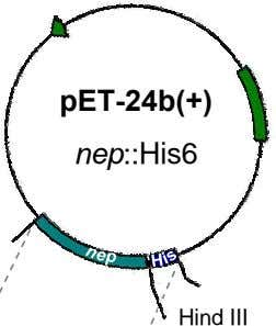 pET-24b(+) nep::His6 Hind III
