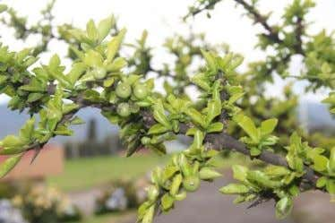 , Randia karstenii Common name: Hawthorn Family: Rubiaceae Increases the levels of hemoglobin after a snake