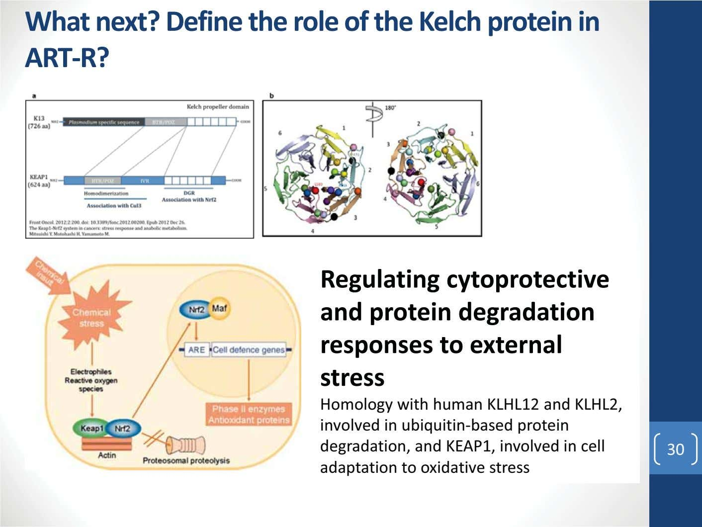 What next? Define the role of the Kelch protein in ART-R? Regulating cytoprotective and protein