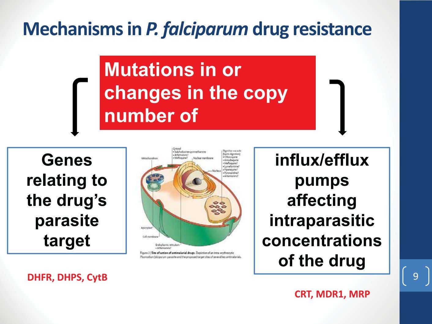 Mechanisms in P. falciparum drug resistance Mutations in or changes in the copy number of