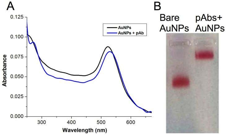 Field-Usable Test for White Spot Syndrome Virus (WSSV) Fig 1. (A) UV-visible spectra of AuNPs and