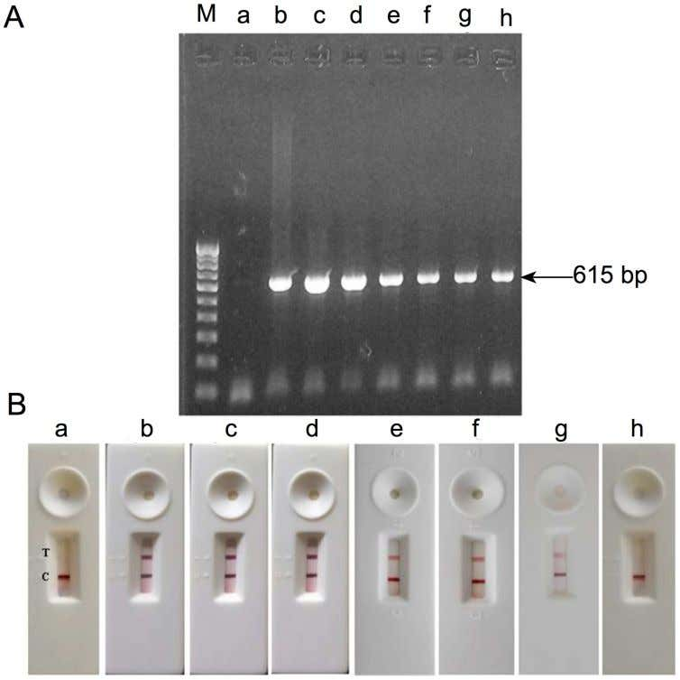 Field-Usable Test for White Spot Syndrome Virus (WSSV) Fig 3. PCR of gill tissue sample from