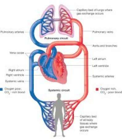 the right atria, and is pumped to the lungs ● Oxygen rich blood enters the left